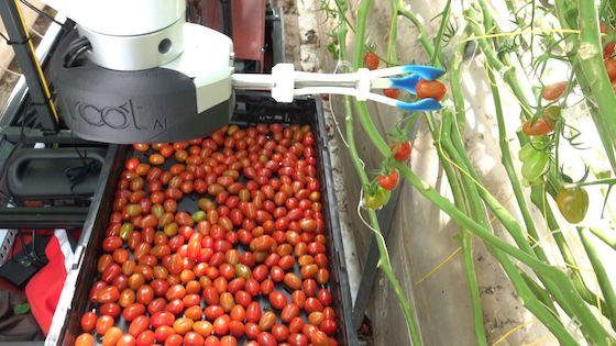 资料图 机器人采摘西红柿