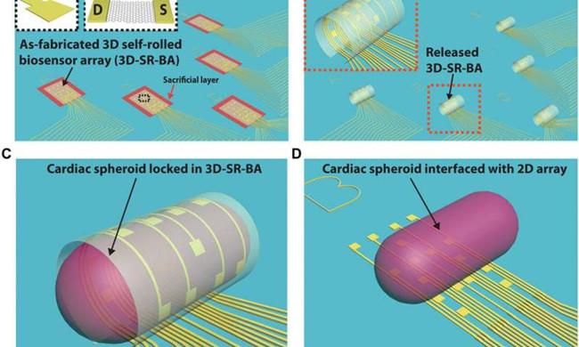 国外开发3D自动滚动生物传感器阵列 研究心脏细胞的相互通信作用