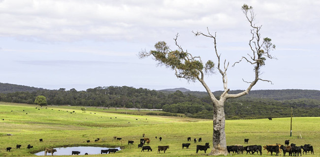 虚拟围栏和牛:新技术如何实现有效、可持续的土地共享