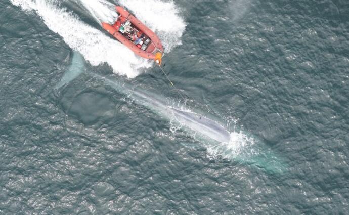 传感器设备帮科学家监测蓝鲸的心率数据