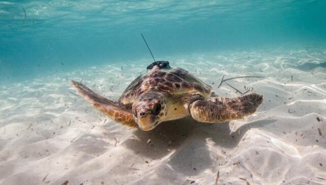 科学家为海洋动物佩戴传感器监测设备以扩展监测范围