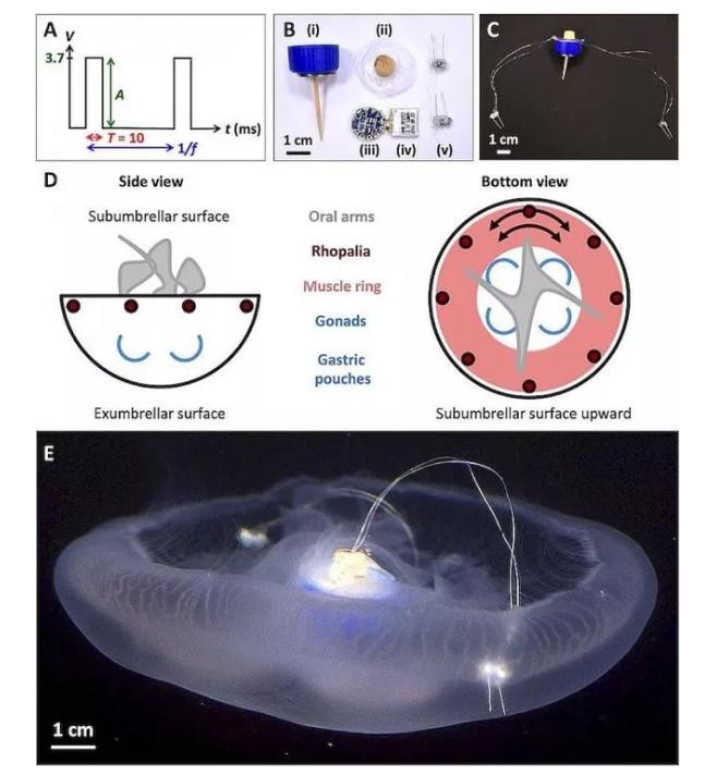 国外大学研发团队开发出带传感器的机器人水母